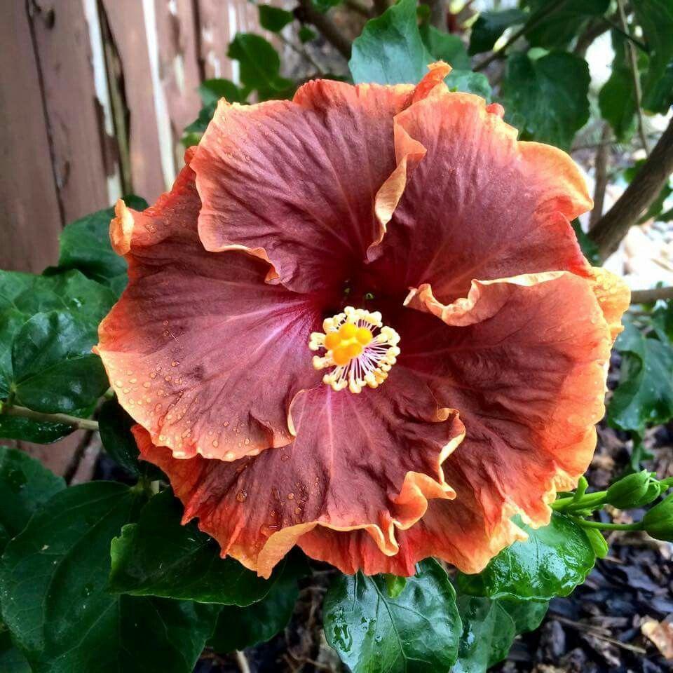 Vodoo magic hibiscus pinterest hibiscus flower beds vodoo magic izmirmasajfo