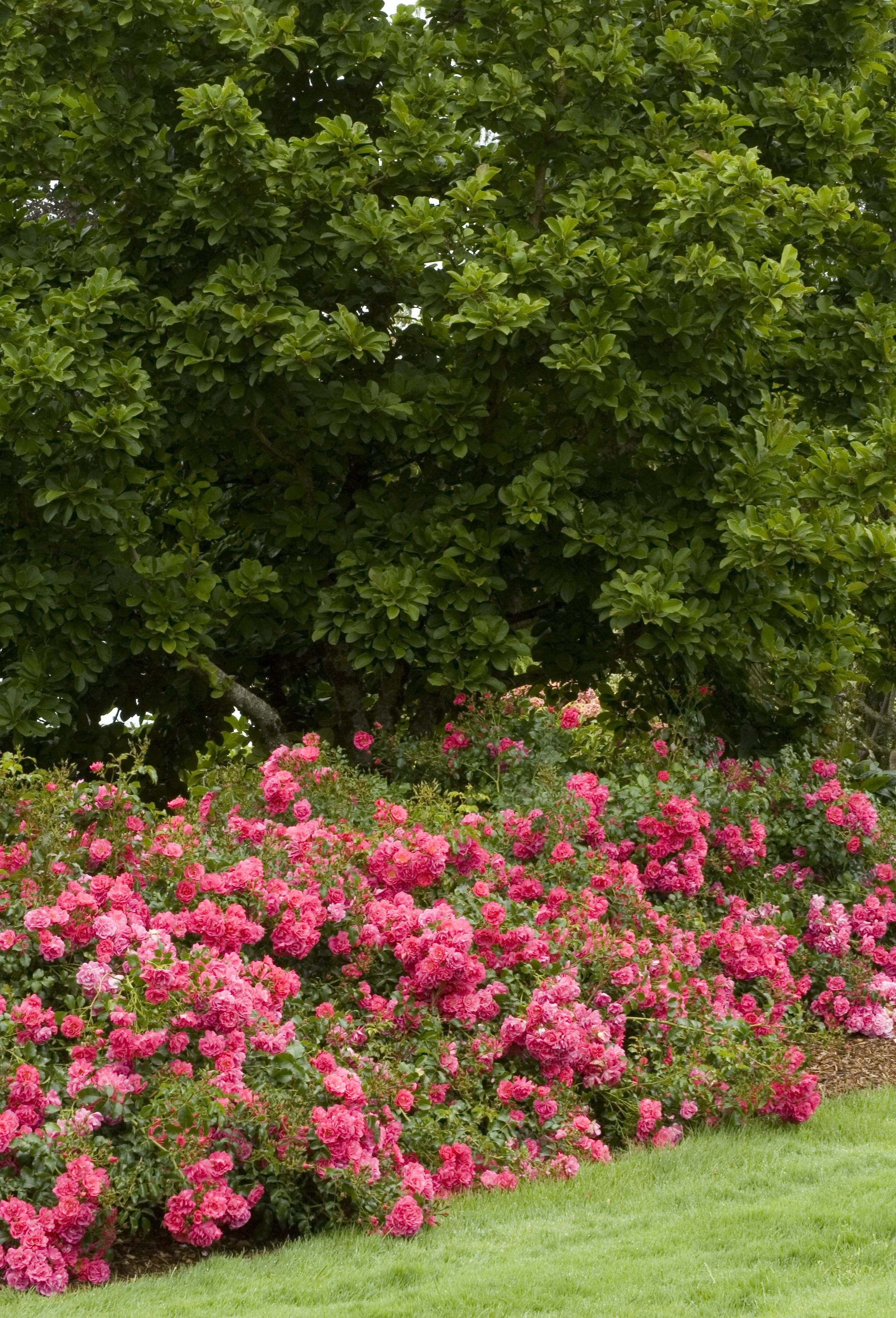 Flower Carpet Pink Groundcover Rose This Easy Care Groundcover Rose With Vibrant Hot Pink Flowers Provides Stunning Ground Cover Roses Growing Gardens Plants