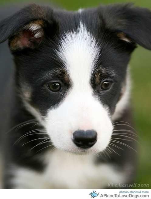 Border Collie Collie Puppies Baby Dogs Cute Dogs