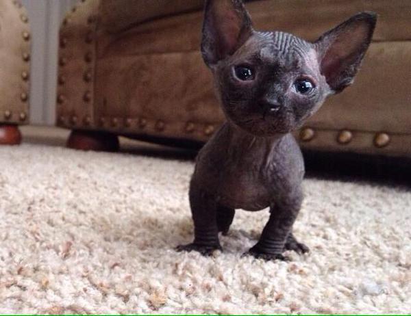 Hairless Munchkin Cat Google Search Hairless Kitten Hairless Cat Sphynx Munchkin Cat