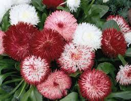 Resultado de imagen de flor bellis