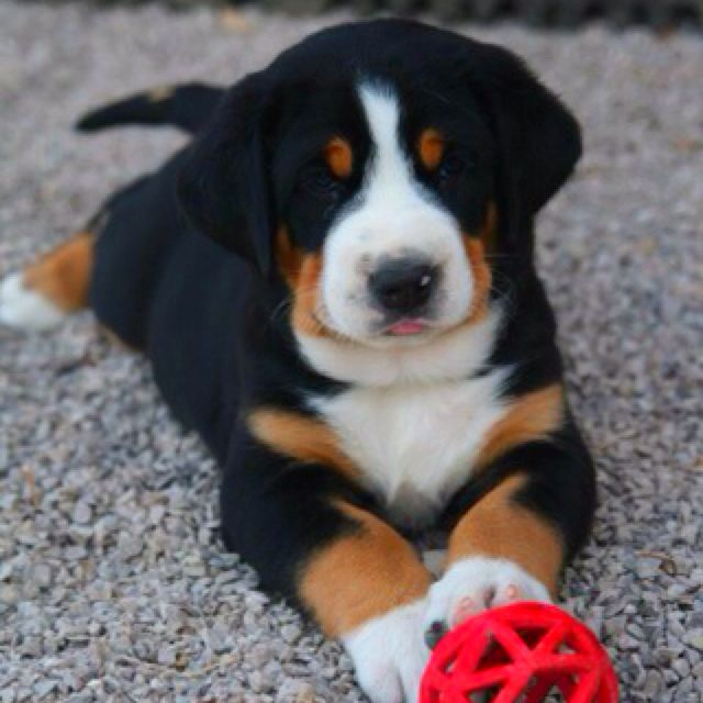 Greater Swiss Mountain Dog Too Cute With Its Tongue