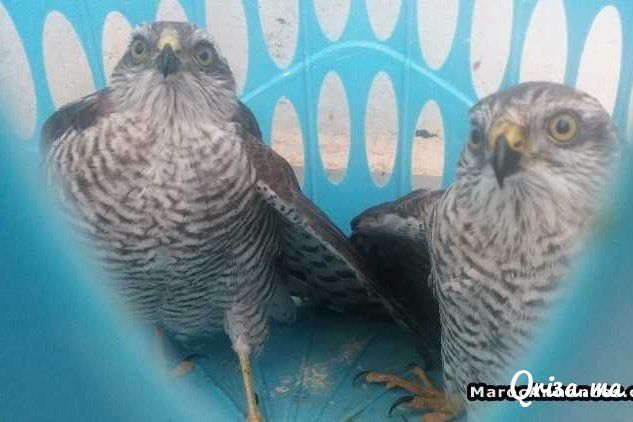 فرخي صقر الباز لعشاق الطيور الجارحة Animals Bird Owl