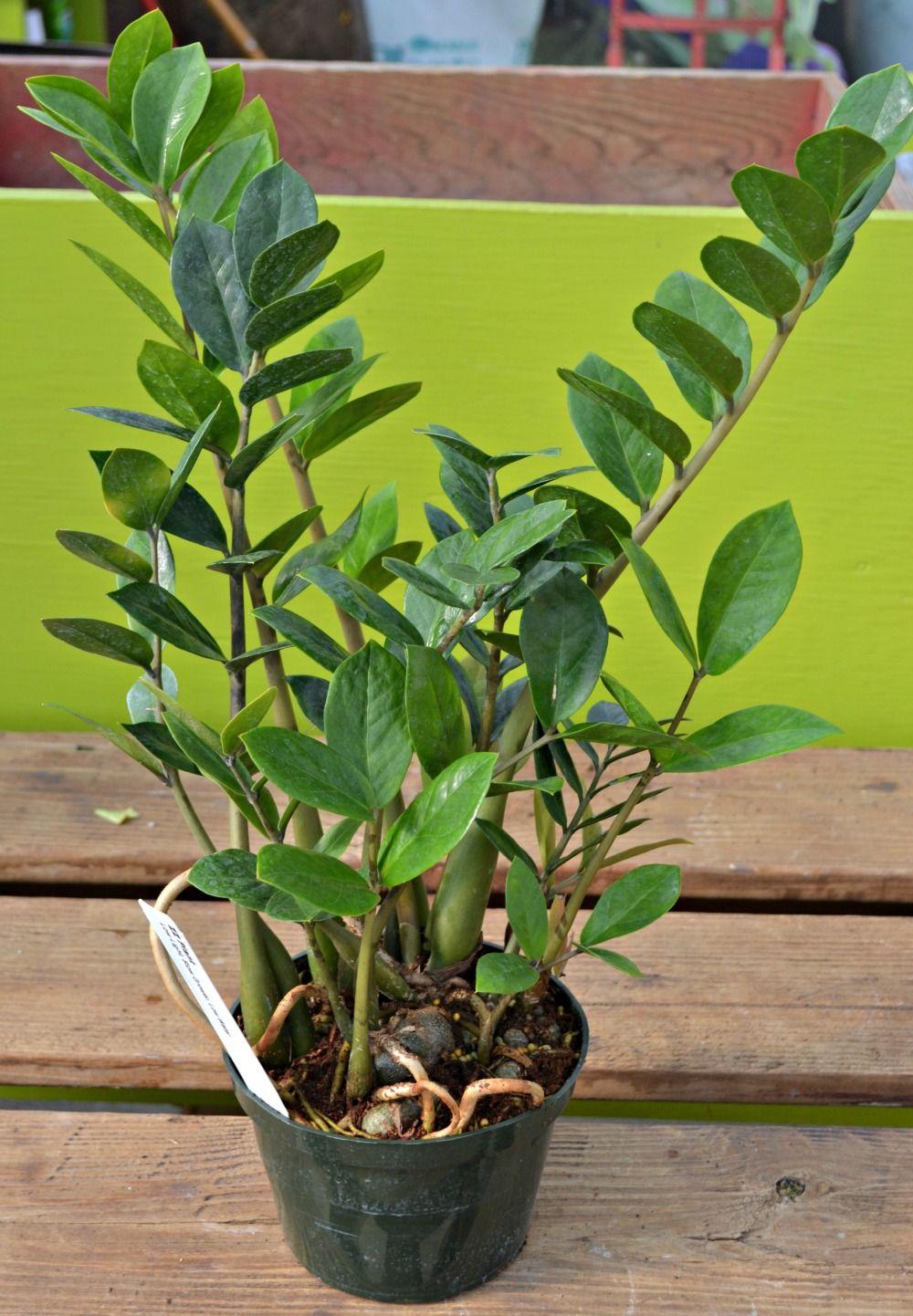 Grow light for houseplants - Zz Plant