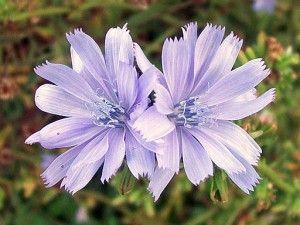Chicory...on my list for livestock fodder