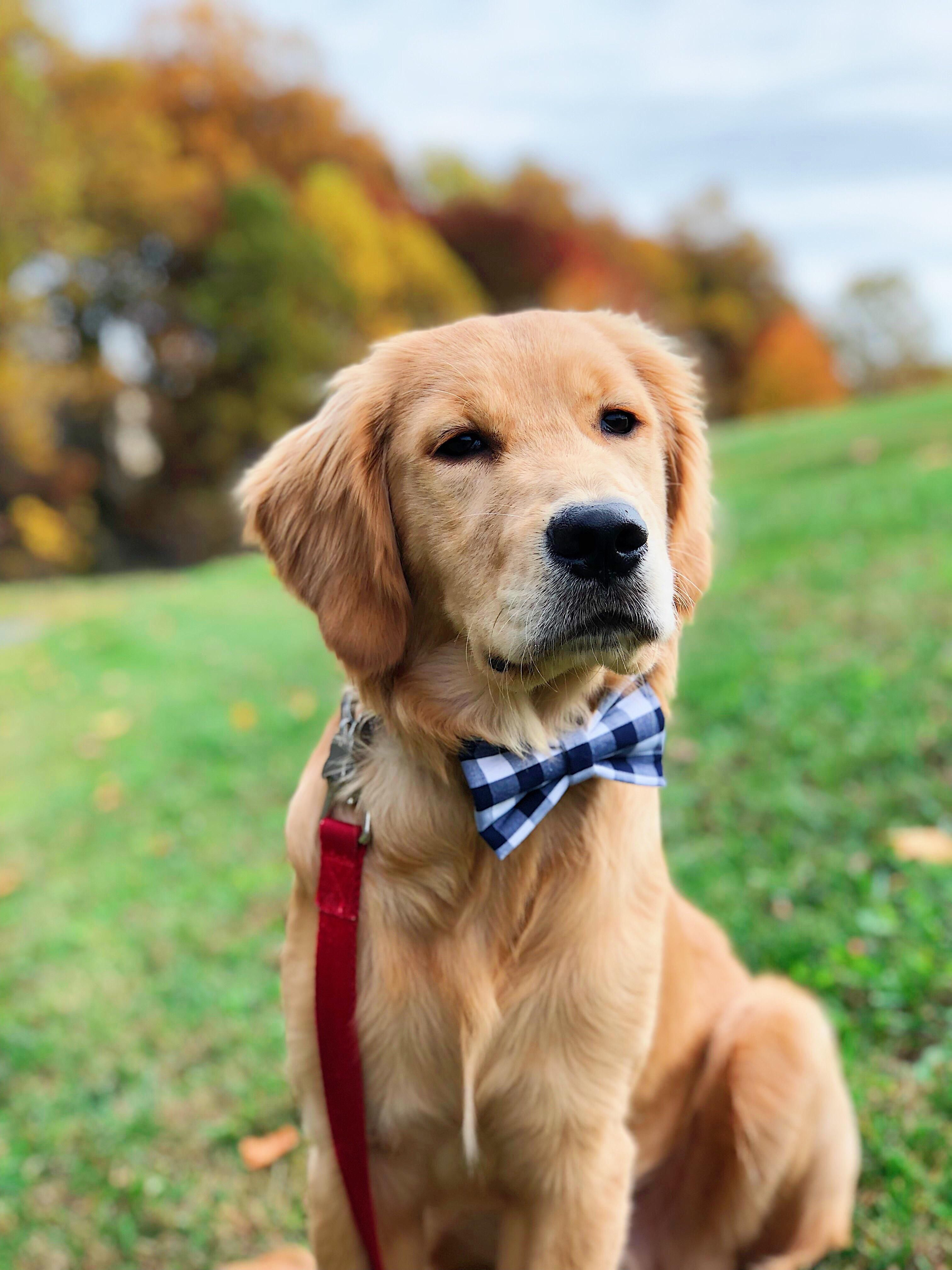 A Golden Retriever In A Bow Tie Autumn Perfection With Images