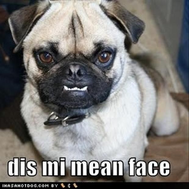 Funny Pug | Funny Pug Dog Pictures – 35 Pics | pugs ...