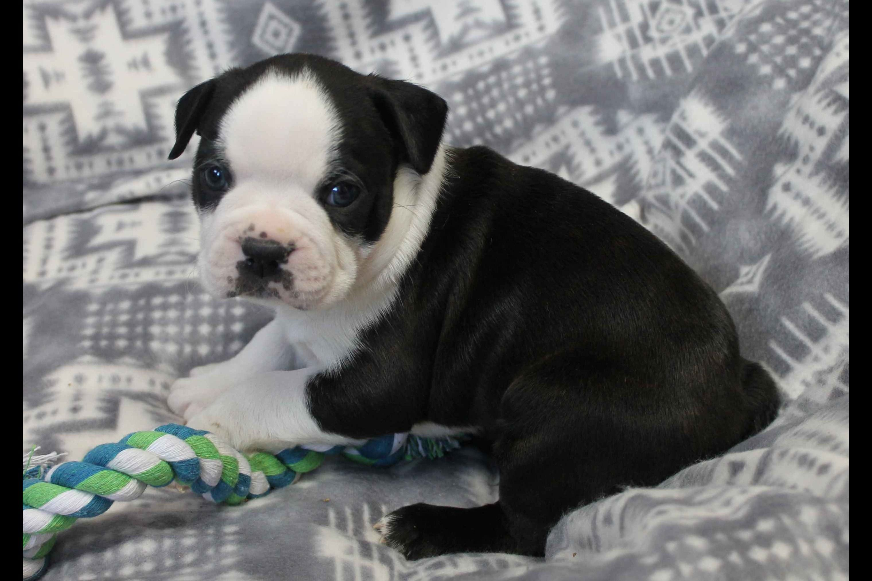 Keller S Farm Has Boston Terrier Puppies For Sale In Cabool Mo On