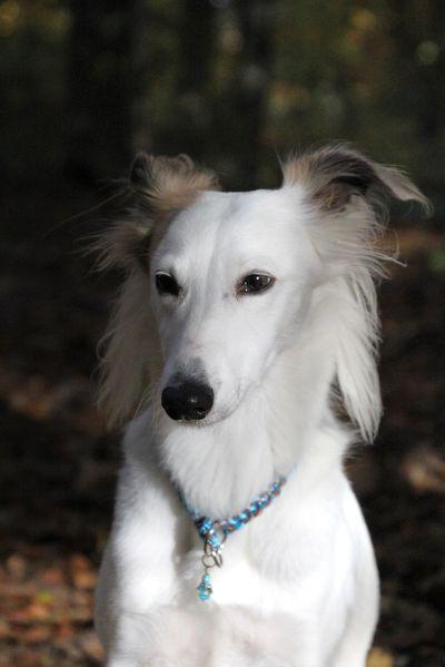 Herbst 2015 Whippet Hunde Ausgestopftes Tier