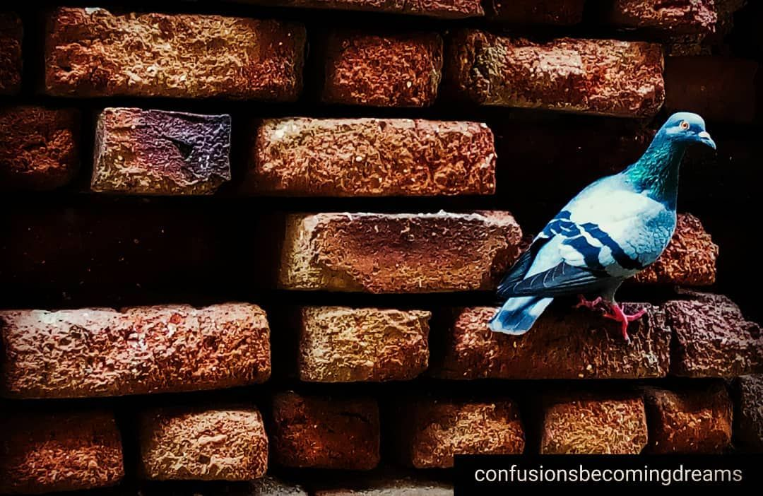Birds pigeon photography balcony bombayhome birds