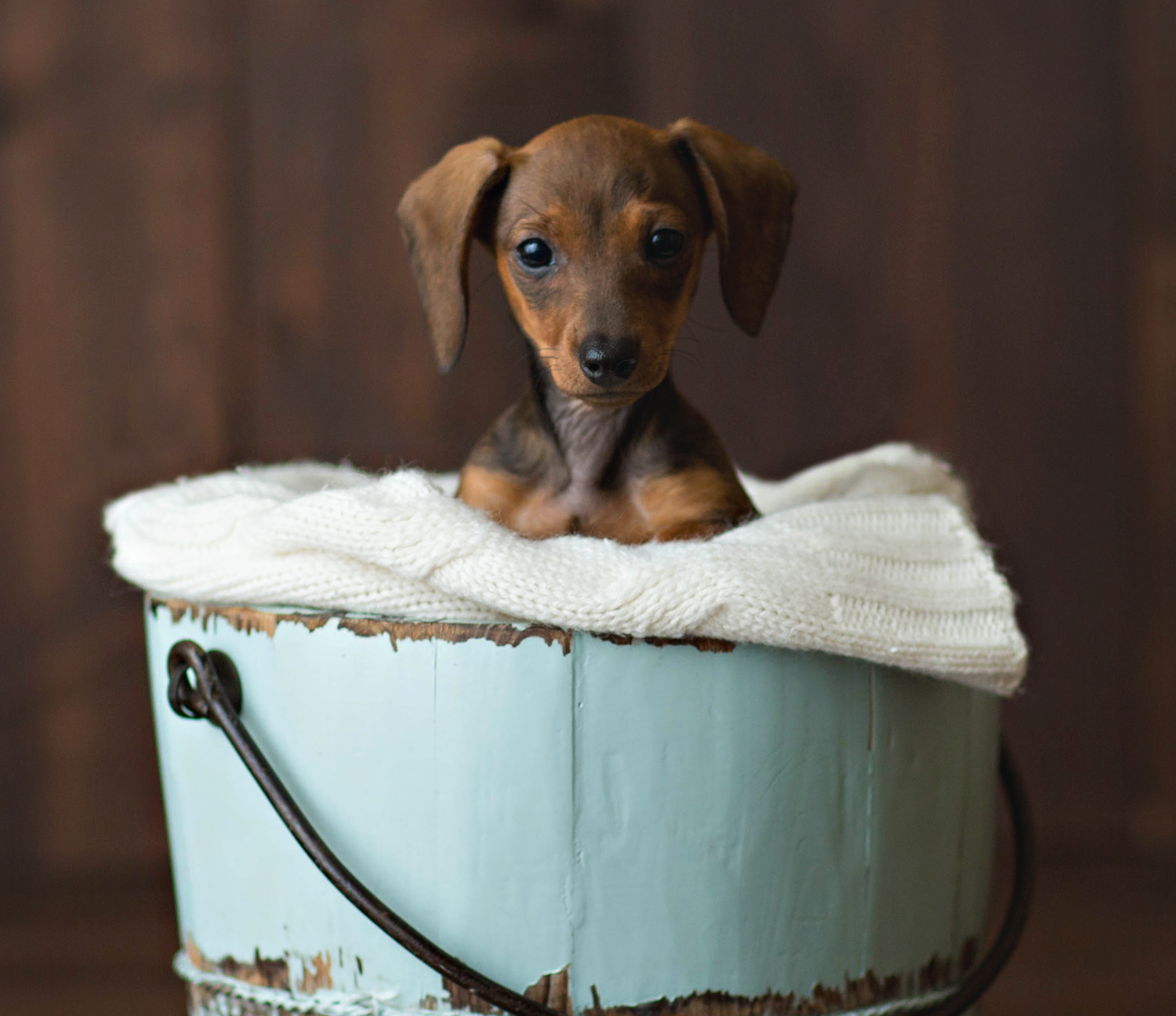 Dachshund puppies are the best (With images) Dachshund