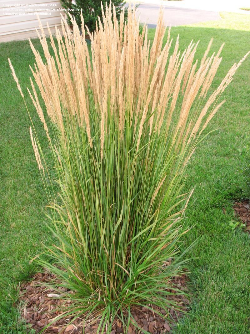 Ornamental grasses feather reed feather reed grass for Small landscape grasses