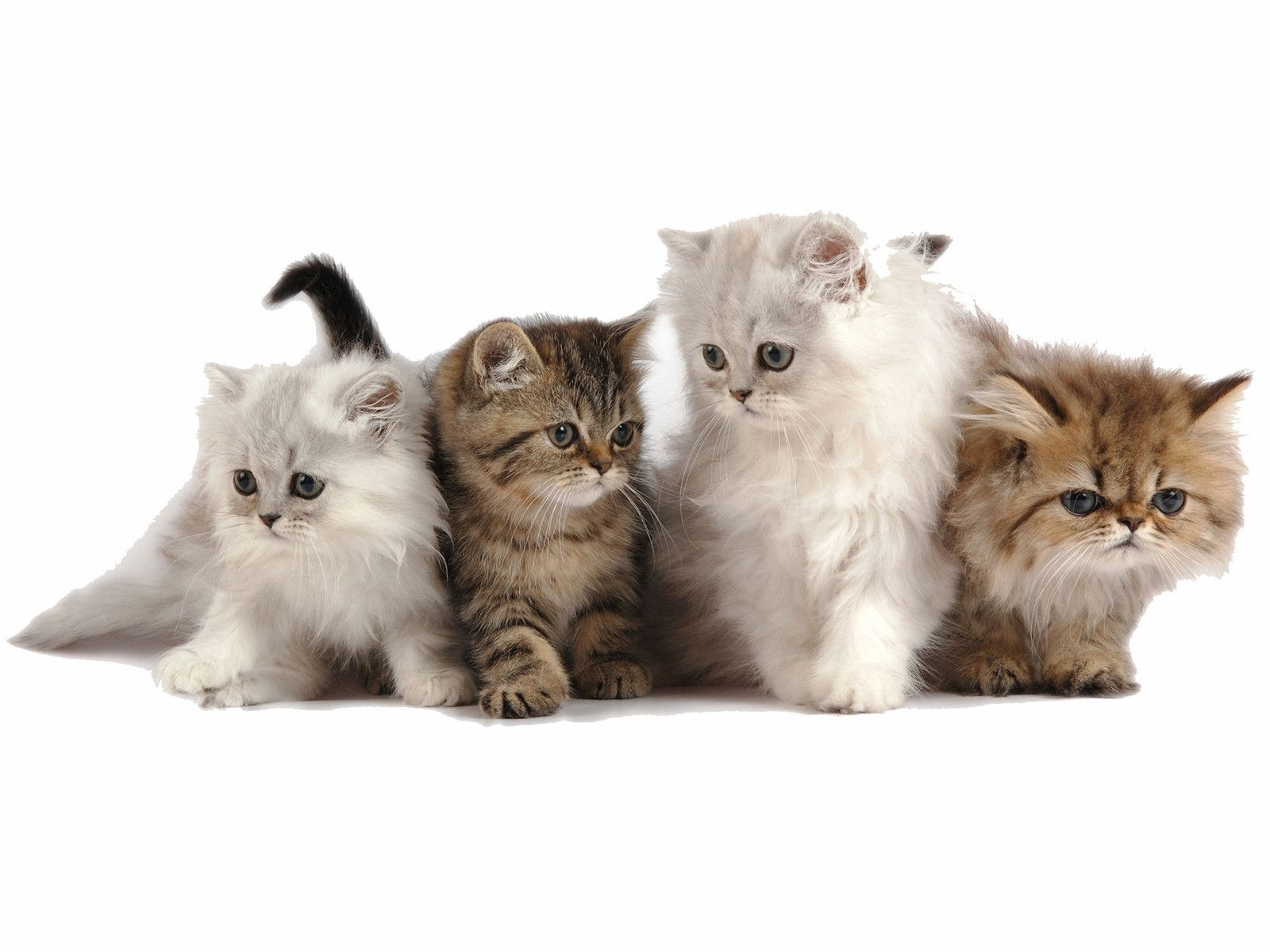 Cute Persian Kitten wallpapers - HD Wallpapers Inn