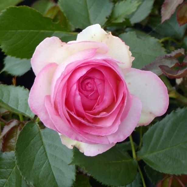 rosa pierre de ronsard rosier grimpant vari t grande fleur remontant bel fiore. Black Bedroom Furniture Sets. Home Design Ideas