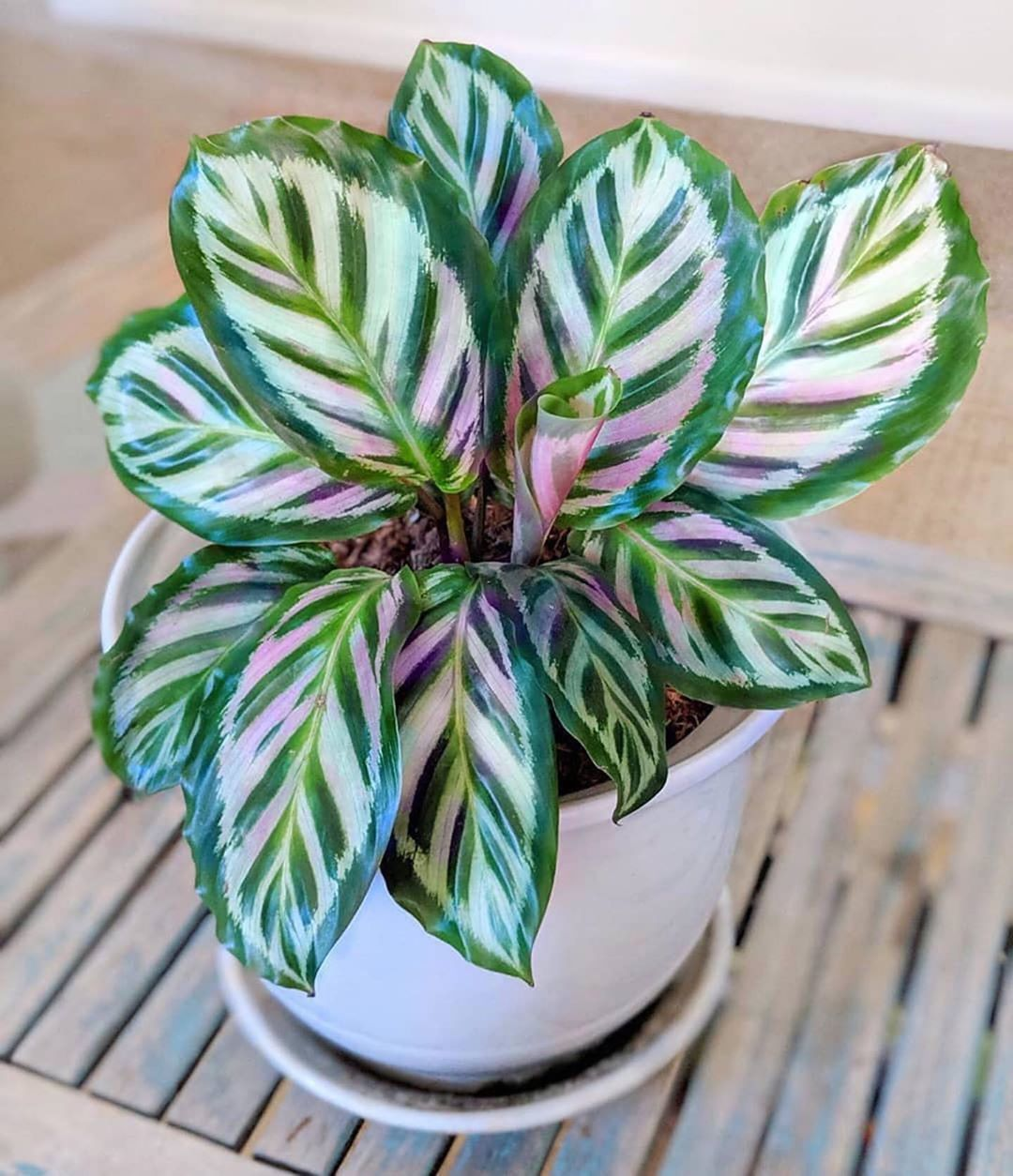 ZZ Botanical and Home on Instagram: When its ok to take beauty and styling advice from your plant   . Beauty specialist: Calathea Roseopicta Cora in store now!  Were