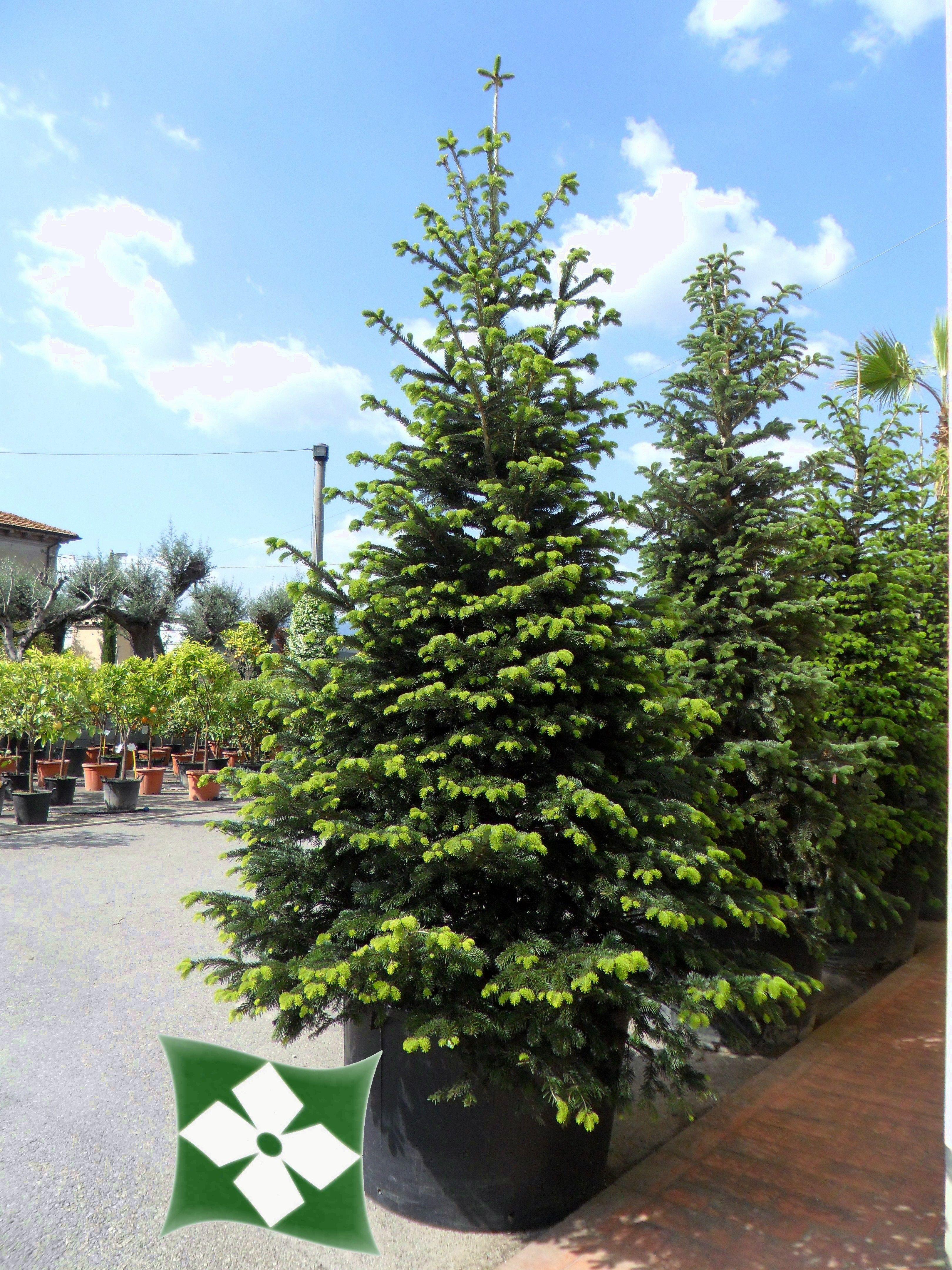 Abies Nordmanniana Dendrológia Előadás Garden Plants