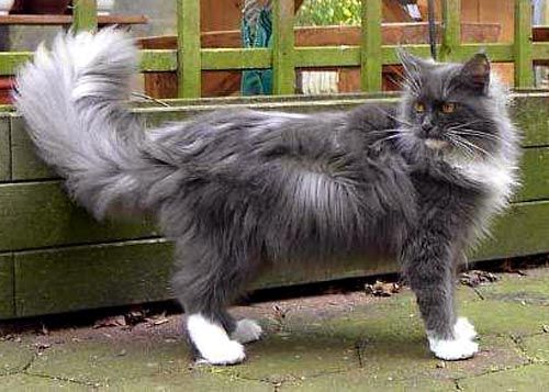 Pin On Maine Coon Blue Smoke White