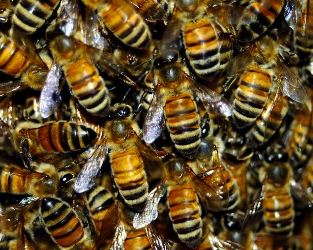 Legalize It! Couple Campaigns for Backyard Beekeeping in ...