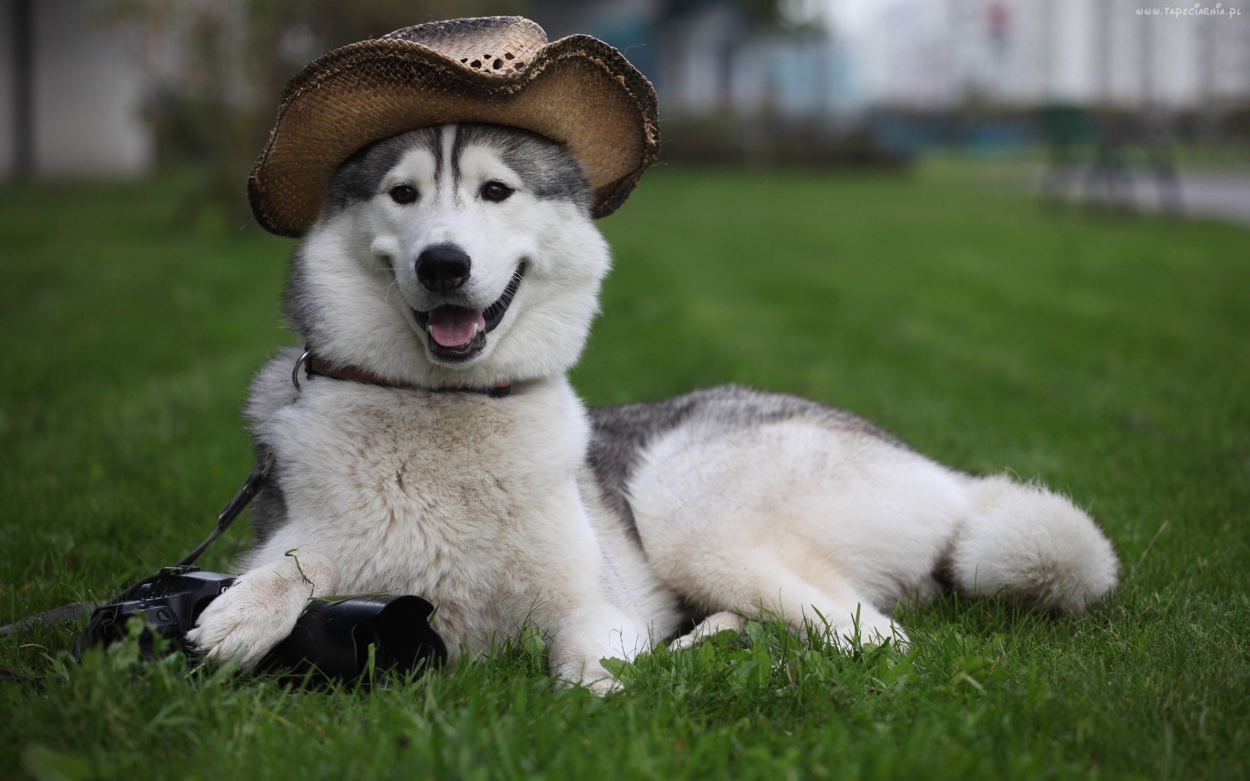 Country Style Lol Cute Husky Puppies Husky Funny Cute Dog Wallpaper