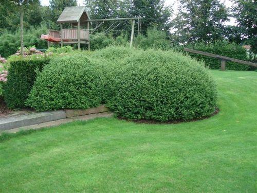 ilex crenata convexa garden pinterest google. Black Bedroom Furniture Sets. Home Design Ideas