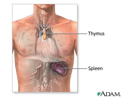 Thymus Gland   This gland is located behind the breastbone and is ...