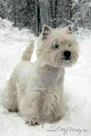 West Highland Terrier By Shelly Eisenreich On Westie Wonderland