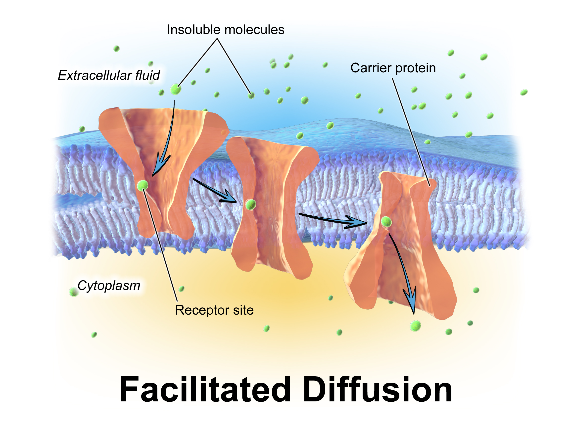 Facilitated diffusion is a form of passive transport. This form uses ...