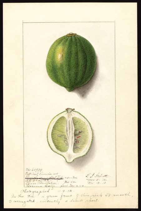 Artist:Schutt, Ellen Isham, 1873-1955 Scientific name:Citrus limon  Common name:lemons Variety:Eureka  original : col. ; 17 x 25 cm.Year:1912