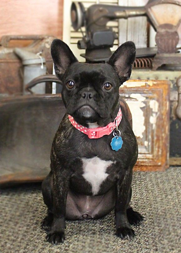 Love Little Ripley Frenchton Cutest Dog Ever Best Dogs French