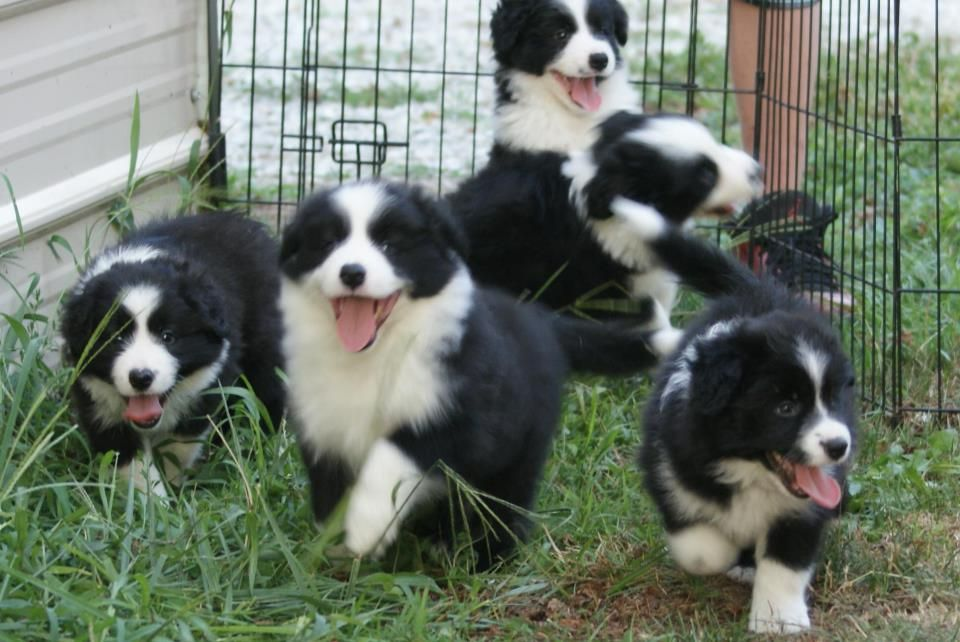 Herd O Pups Pup Corgi Border Collie