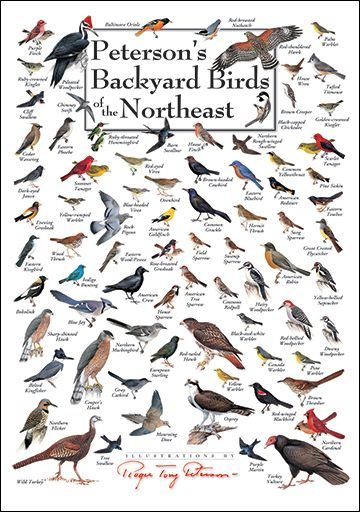 Petersonu0027s Backyard Birds Of The Northeast Poster