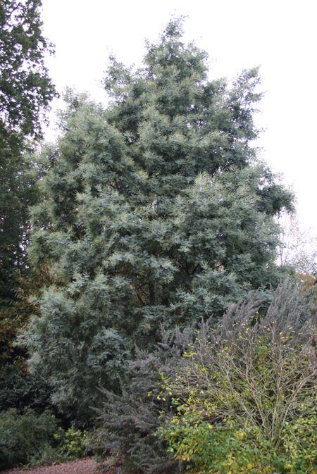 Acacia Dealbata Var Subalpina Plants Must To Have Xi