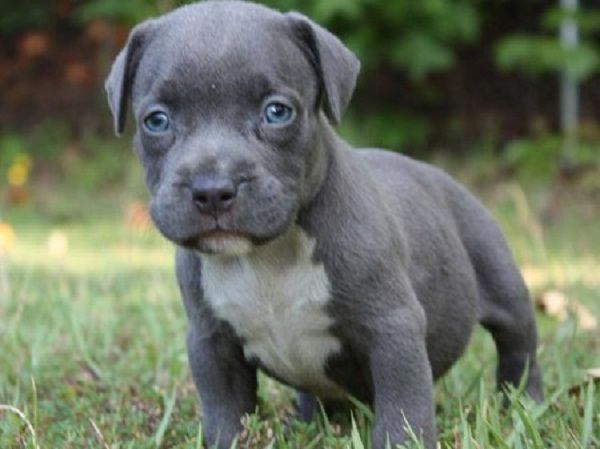 Blue Nose Pitbull Puppies With Blue Eyes Dogs World Pinterest
