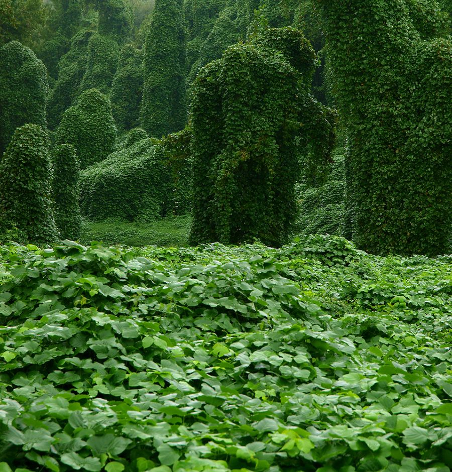 The Story Behind Kudzu The Vine That S Still Eating The South Invasive Plants Vines Ecology
