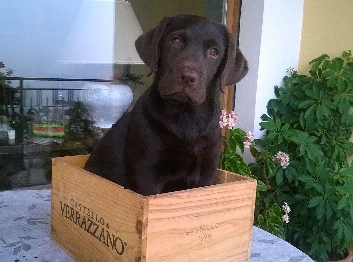 """E' arrivata """"Camilla"""" tenera cucciola di labrador chocolate"""