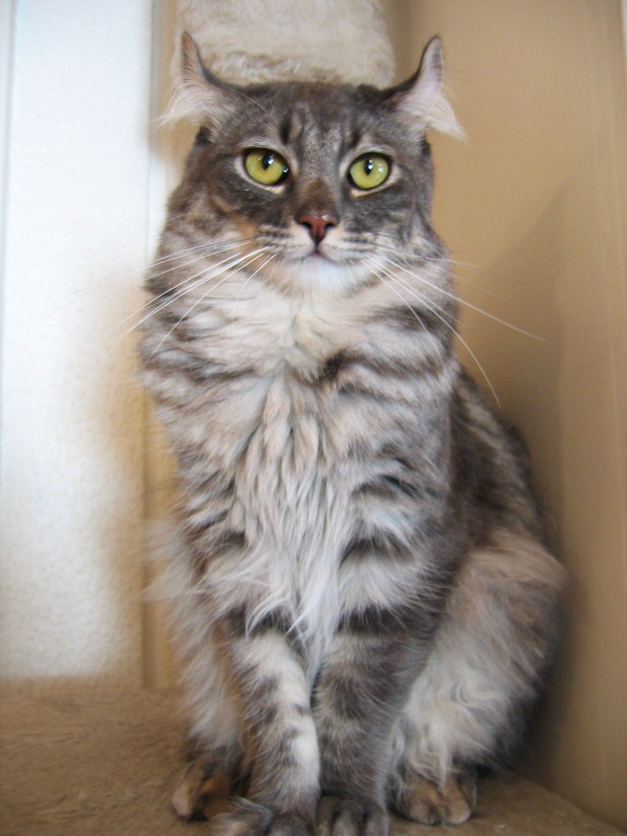 The American Curl is a beautiful and unique cat breed with