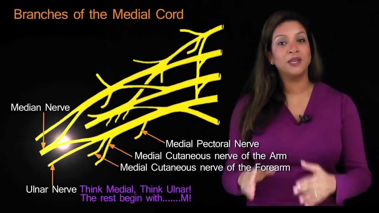 Funky Anatomy EXAM ANSWERS The Brachial Plexus made Easy   anatomy ...
