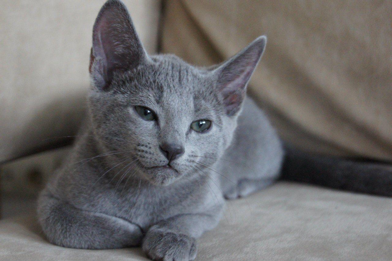 Russian Blue Kittens For Sale Russian Blue Cat Russian Blue Russian Blue Kitten