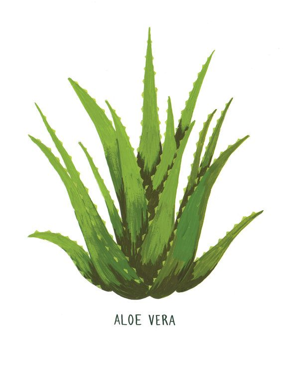 Aloe Vera Plant Care The Ultimate Guide For How To Grow: Aloe Vera Tattoo, Plants, Aloe Vera