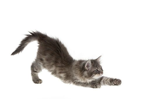 Found On Bing From Www Kimballstock Com In 2020 Cat Stretching Cats And Kittens Cat Photo