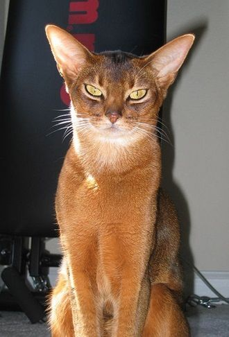 Abyssinian Cat Dog Like Cats