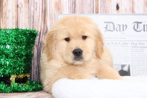 Golden Retriever Puppy For Sale In Bel Air Md Adn 68599 On