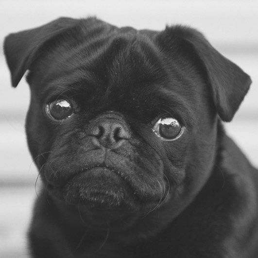 This Week S Pug Photo Challenge Is All About Black White Photos