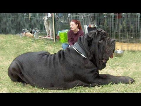 Mqdefault Jpg 320 180 Big Dogs Dog Documentary Giant Dogs