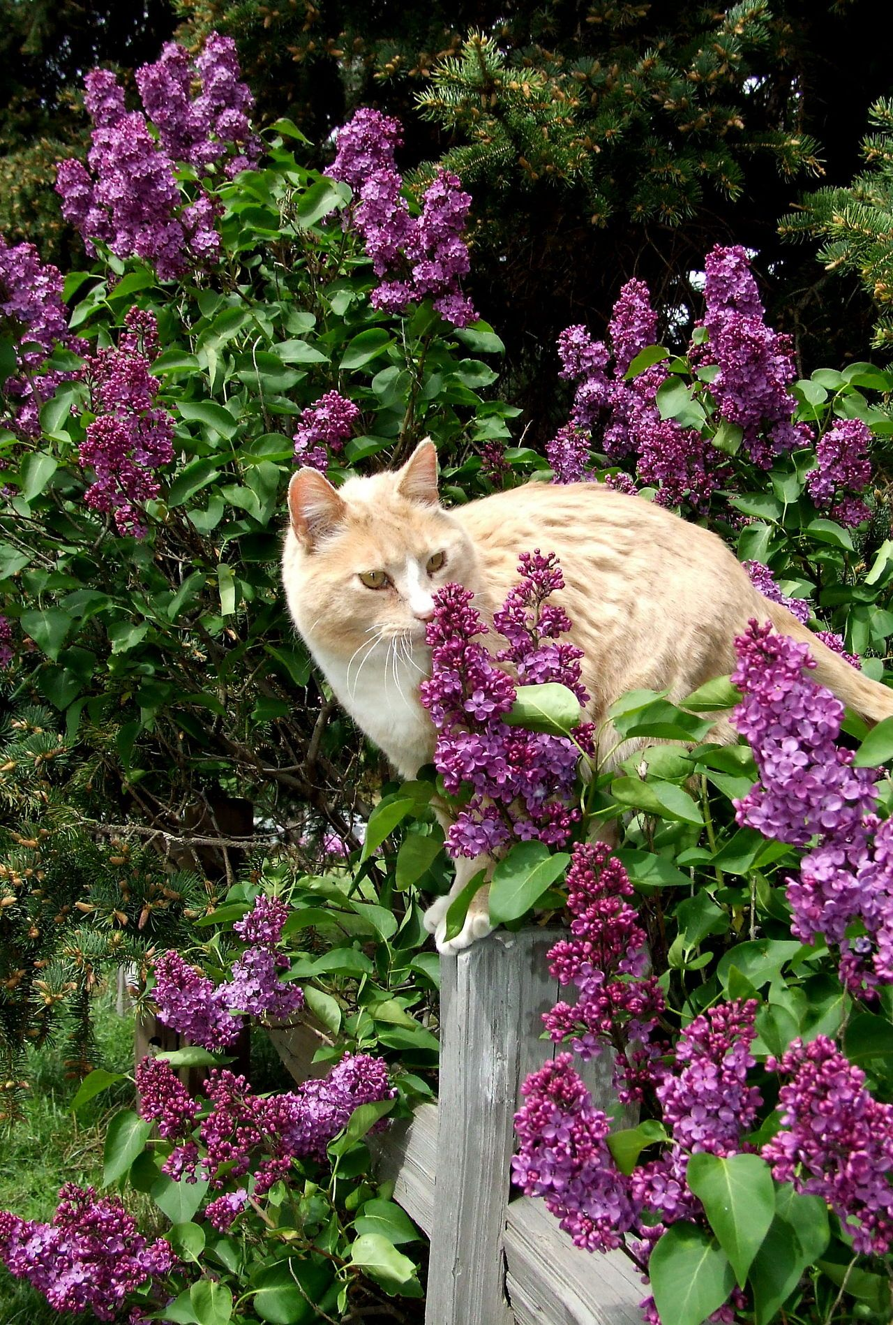 Cat on the fence: the lilac cottage ✿⊱╮X ღɱɧღ
