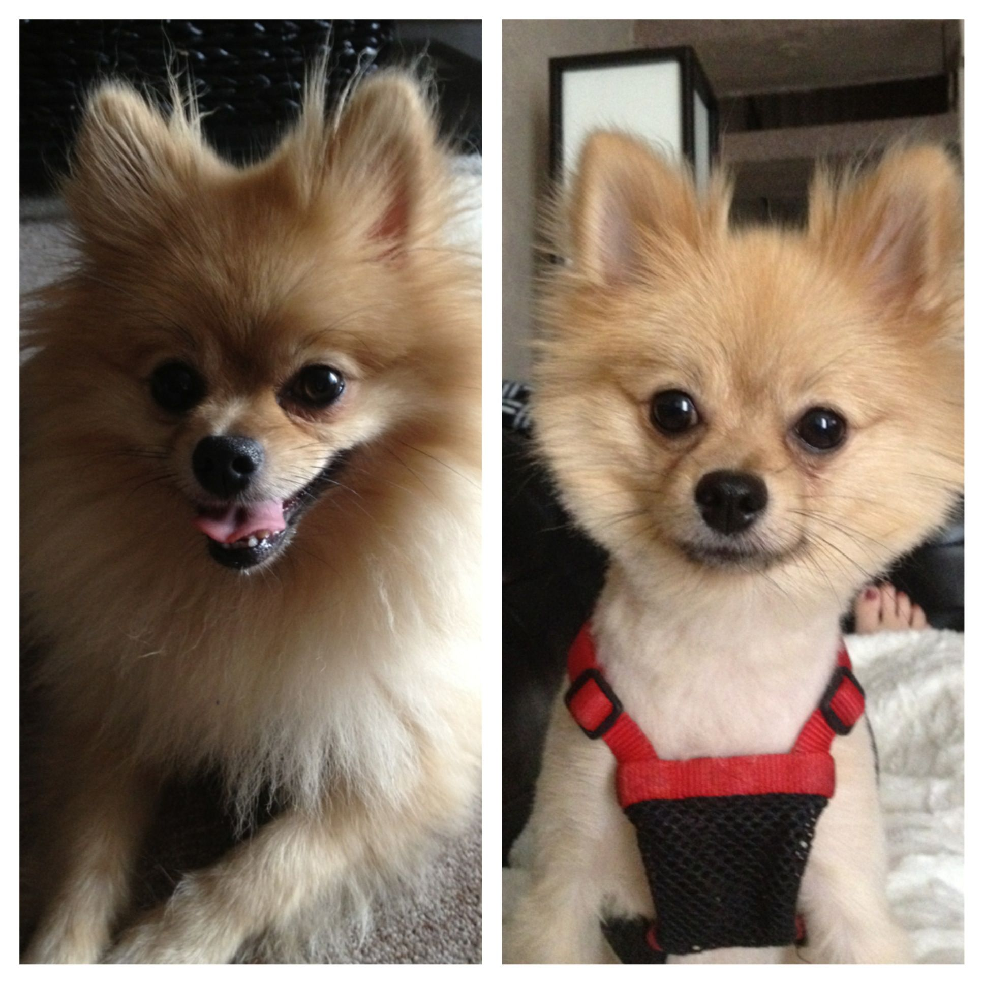pomeranian hair pomeranian before and after haircut pics yup that really 2498