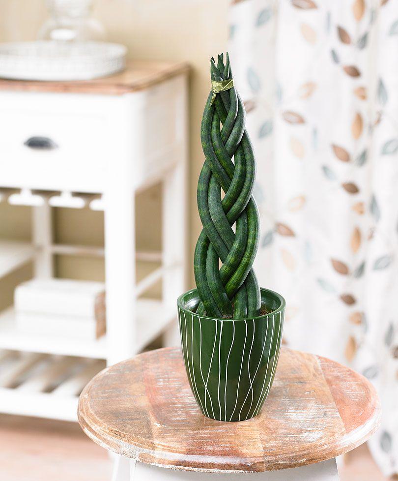 tresse africaine en joli pot plantes bakker france plante d 39 int rieur pinterest. Black Bedroom Furniture Sets. Home Design Ideas