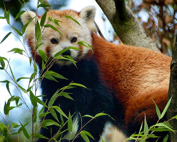 RED PANDA © Trever Miller   A red panda surveys it's surroundings.