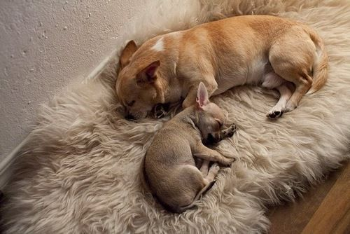 I never should have looked at chihuahuas on Pinterest...