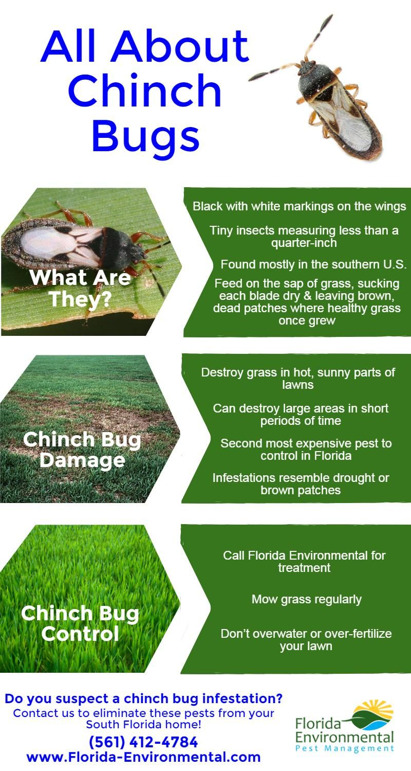 All About Chinch Bugs Infographic West Palm Beach Florida Planting Flowers Organic Lawn Care